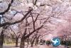 韩国 全州马耳山樱花路及韩屋 包车一日游