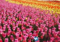 2018年4月5月泰安世界郁金香节