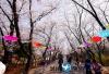 韩国首尔乐园+富川陶唐山+远美山樱花一天游包车服务